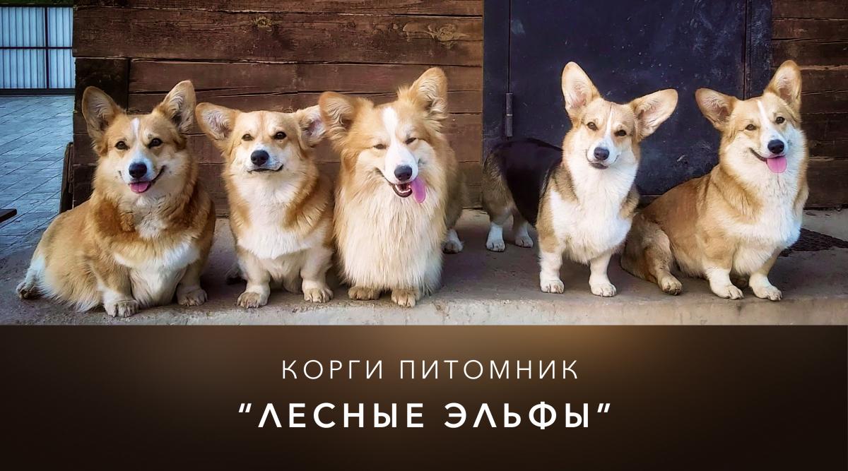Корги ждут вас)